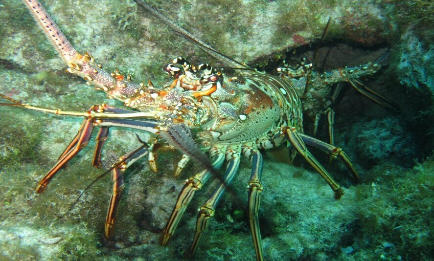 Key West Spiny lobster freediving course