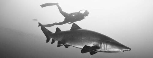 Ashley Chapman Freediver diving with Sand Tiger Shark